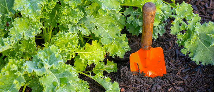 Plant cool-weather crops such as Kale in septembre in your garden