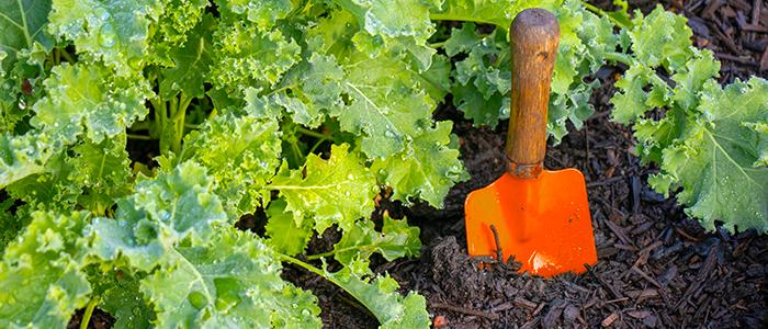 Plantez des plantes de temps frais comme des choux frisés en septembre