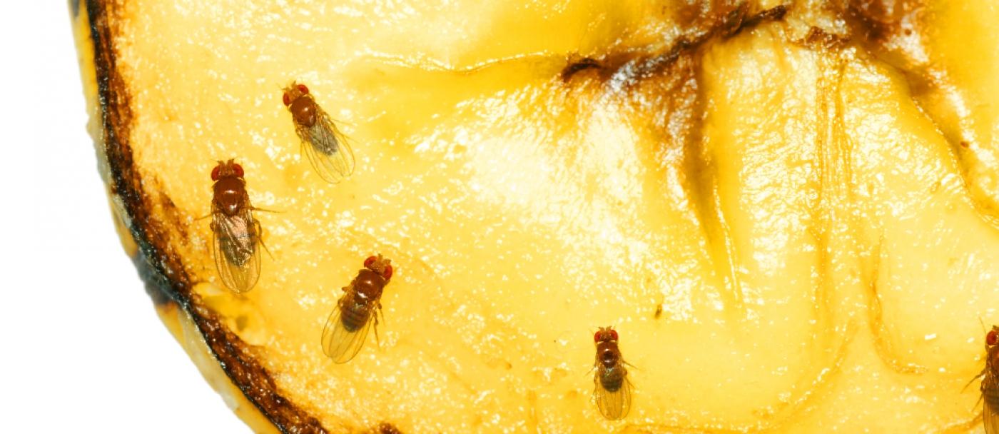 Comment Se Débarrasser Des Petite Mouche comment se débarrasser des mouches à fruits (drosophiles