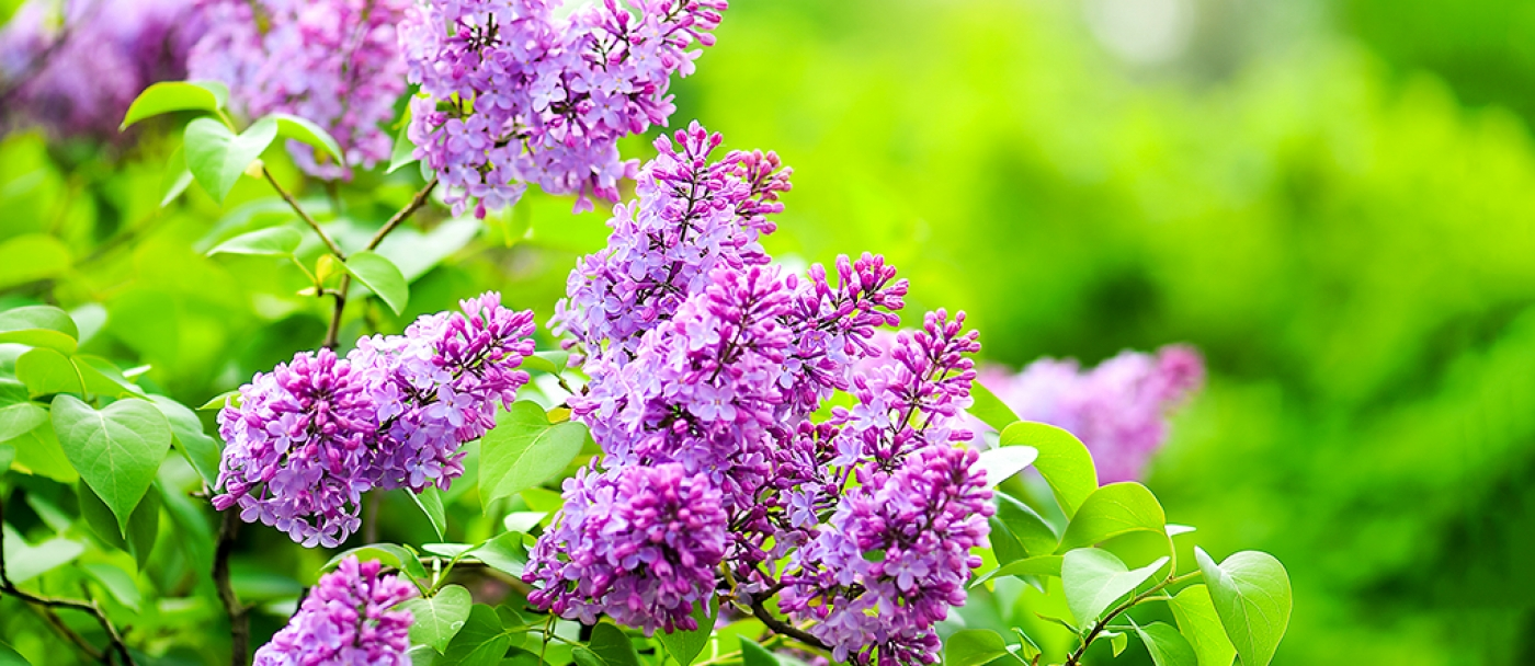 Beautiful healthy lilac in three steps